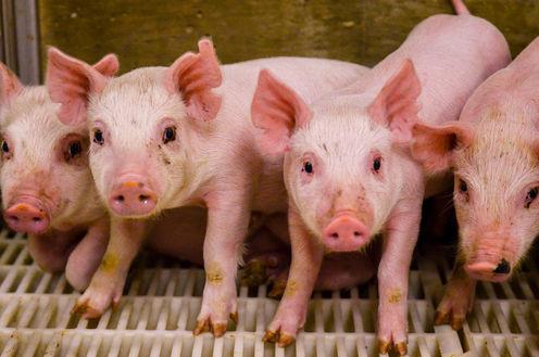 Animal Organ Transplants Into Humans Using Gene Editing