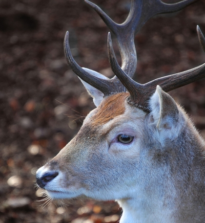 photo of deer head with antlers