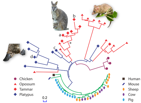 New Antibiotics From Marsupials?