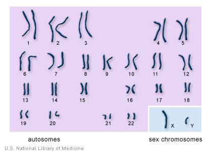 X And Y And Meiosis: Some Progress In The Sex Chromosomes Science Mystery