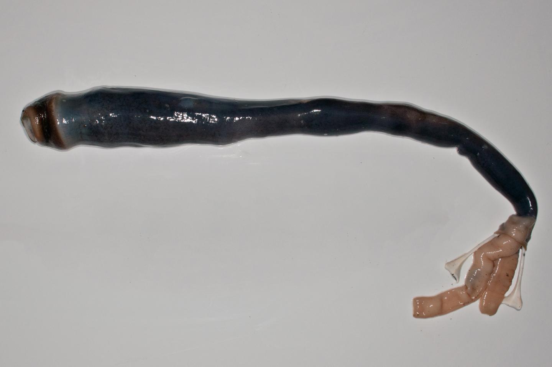 Kuphus Polythalamia: Giant Sulfur-Powered Shipworm Is The Stuff Of Science Fiction