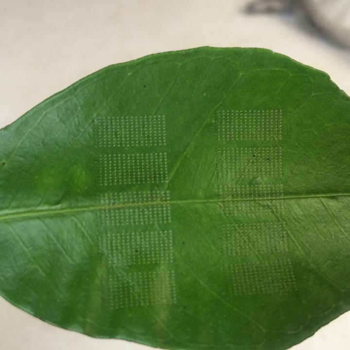 Lasers May Provide A Cure For Citrus Greening Disease