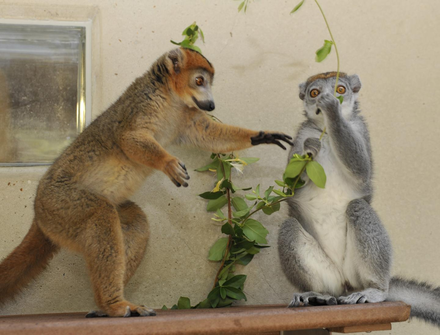 Lemur Females Rule - Because They Have Male Hormones?