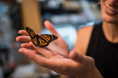 Monarch Butterflies: Carbon Dioxide Reduces Medicinal Properties Of Milkweed Plants That Protect Therm From Disease