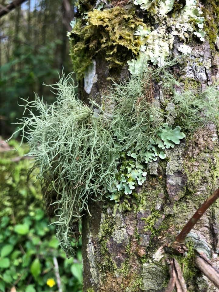 Dinosaur Extinction Gave Lichen Evolution A Boost