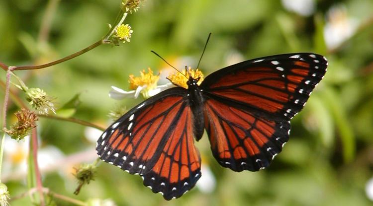 Sweet Viceroy Butterflies Turn Sour To Stop Predators