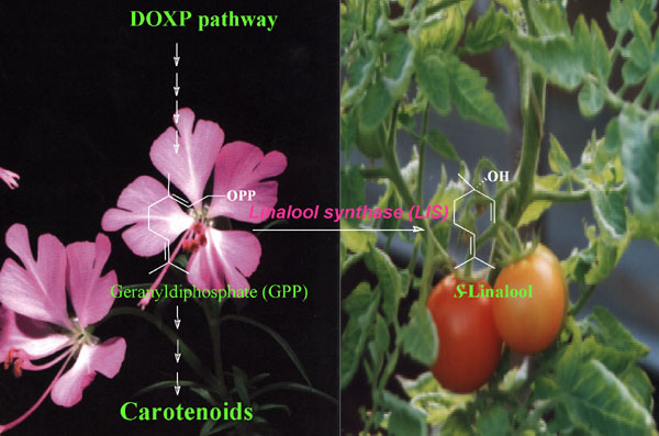 tomatoes stress gene activity fragrance
