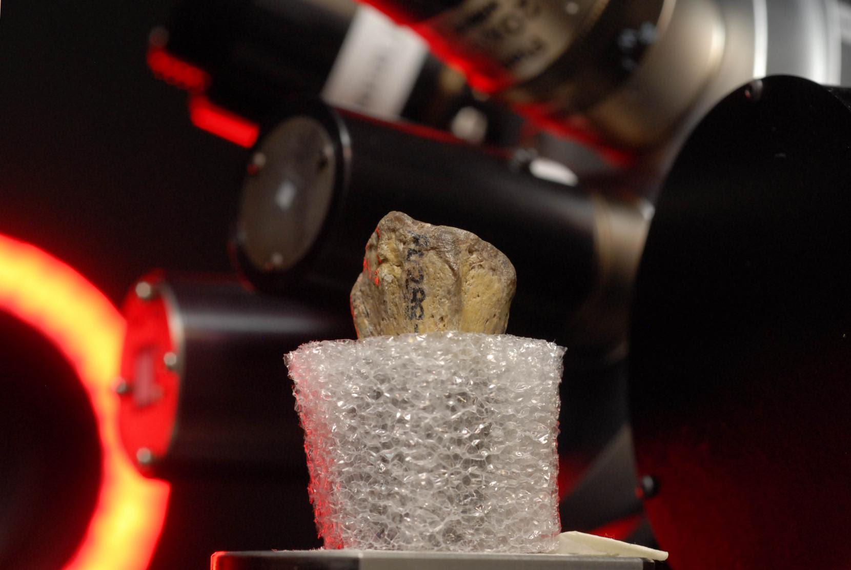 Australopithecus Afarensis: 'Lucy' Was A Tree Climber?
