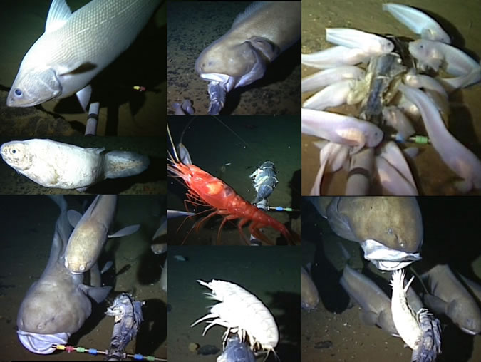Oceanlab Scientists Film Supergiant Amphipod and Deepest Fish
