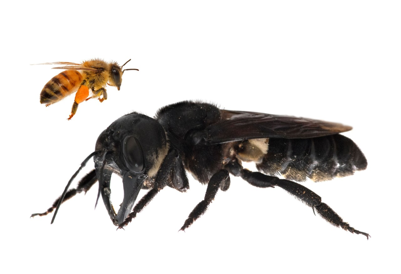Megachile Pluto: Wallace's Giant Bee Was Never Extinct, It Was Just Hard To Find