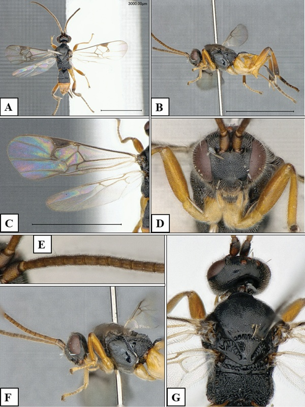Microgaster Godzilla: New Species Of Wasp Dives Underwater To Attack A Caterpillar Host (Video)