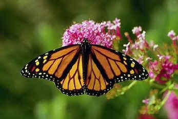 Scientific Sleight Of Hand And Monarch Butterflies