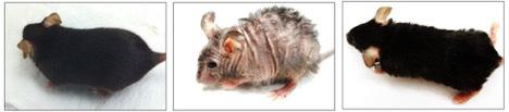 Age-Related Wrinkles And Hair Loss Reversed In Mice