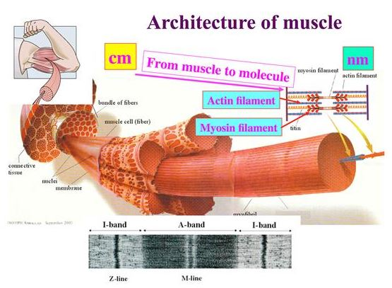 Muscle Contractions At The Atomic Scale