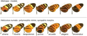 Supergenes And Butterfly Mimicry