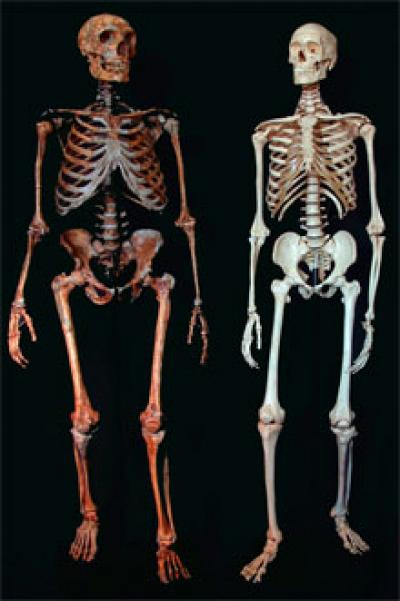 Neanderthal vs human skeleton