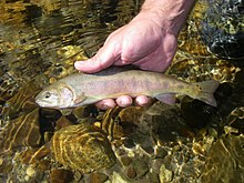 How Flawed Is Environmental Law? Ask The Paiute Cutthroat Trout After 8 Years Of Environmental Groups Blocking Its Restoration