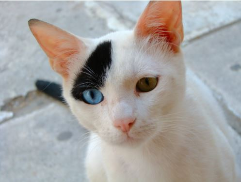 How Two-toned Cats Get A Piebald Patch