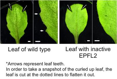 How Plant Leaves Grow Their Teeth