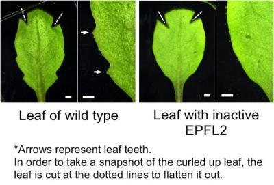 How Plant Leaves Grow Their Teeth