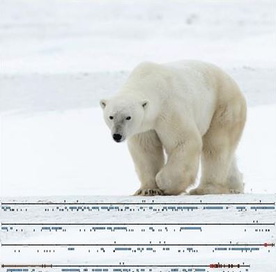 Why The Y Chromosome In Polar Bears Matters