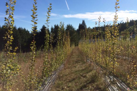 Genetically Rescued Organism: A GM Poplar That Produces Less Isoprene But Grows Just As Fast