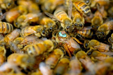 Male Honeybees Inject Toxins During Sex That Cause Temporary Blindness