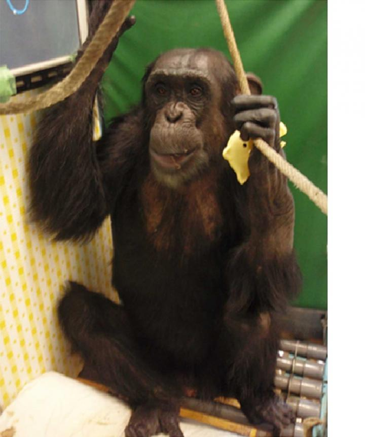 How A Touch Screen Helped A Paralyzed Chimp Walk Again