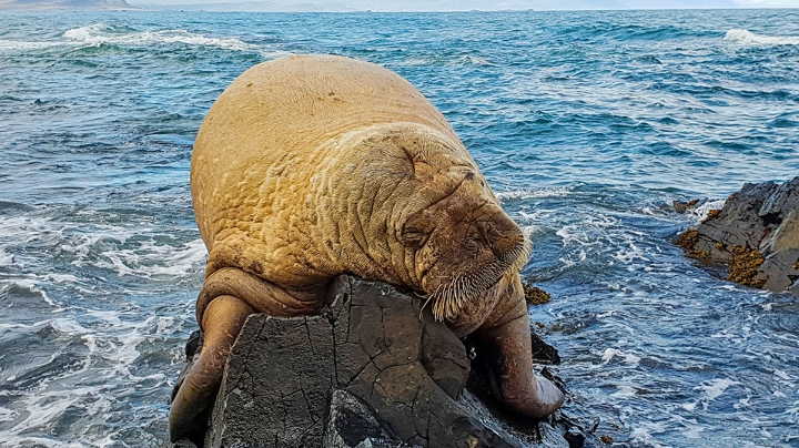 Vikings Blamed For Disappearance Of Icelandic Walrus