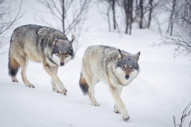 The Mysterious Genetic Origin Of Scandinavian Wolves