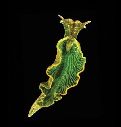 Sea Slugs Generating Green Energy
