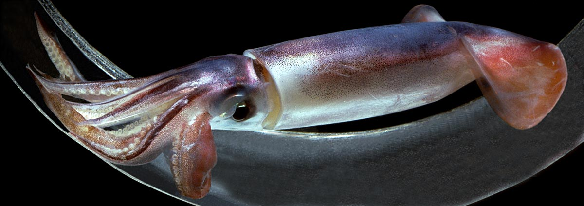 Squidly Masters Of The Sea