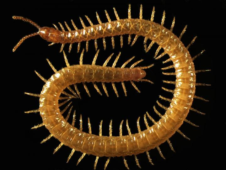 Blind Scottish Centipede Reveals How Venomous Carnivores Evolved