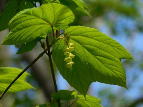 Plant Sex: Striped Maple Trees Often Flip Sexes, While Females Are More Likely To Die