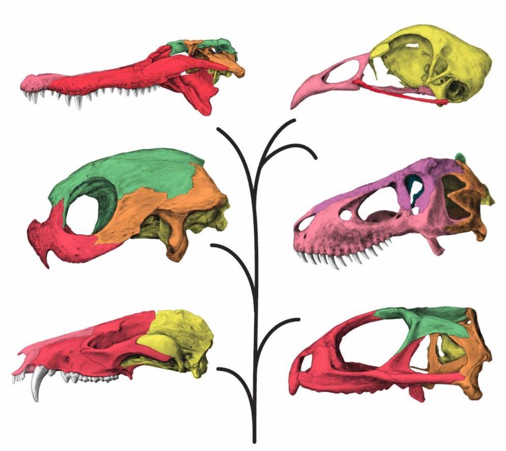 More Like Modules: T. Rex Had A Flexible Skull