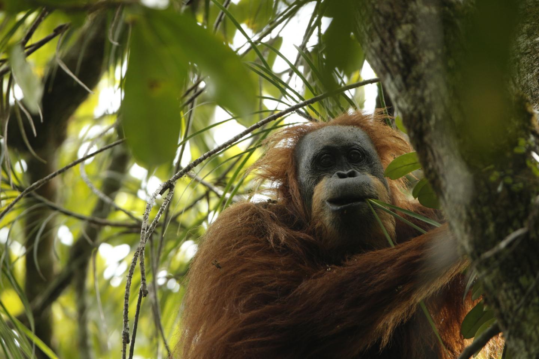 Tapanuli: A Third Orangutan Species Exists
