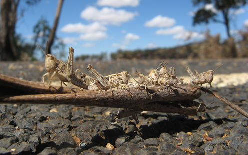 We Can Start A Biblical Plague With Three Locusts