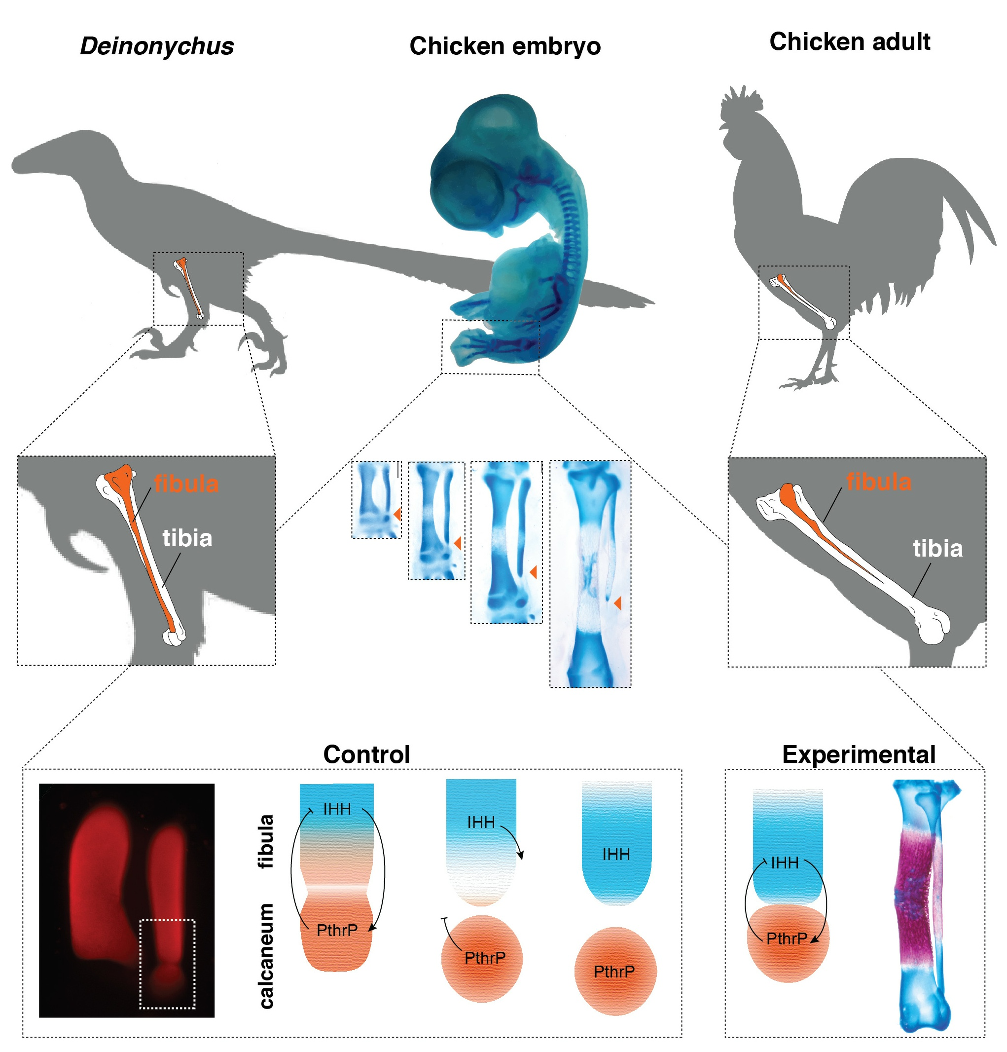 Evolution Reversed In Birds, Giving Them A Dinosaur-Like Lower Leg