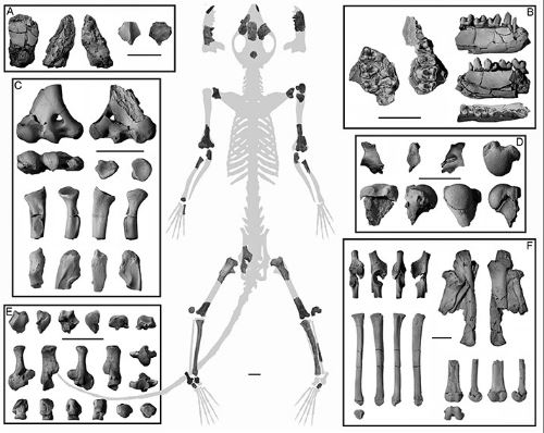 Torrejonia: Early Primates Were Tree Dwellers