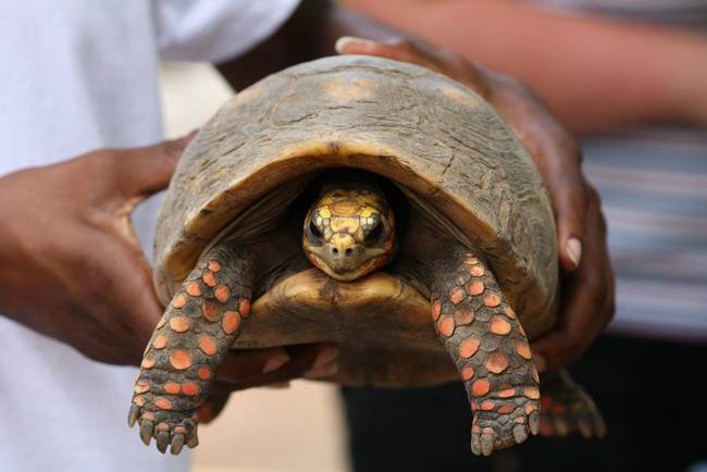 Resilient: Tortoise Missing Since 1982 Found When Family Cleans House