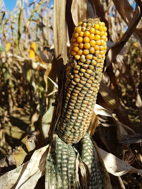 Trichoderma And Corn Rot: Organic Pesticides Damage Crops