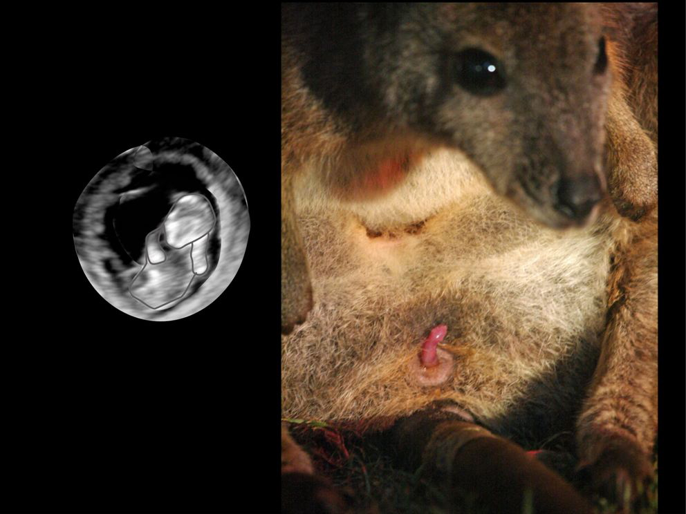 Marsupials: Climb To The Pouch Begins In Utero