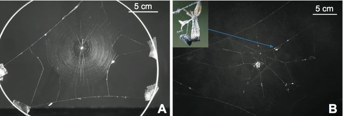 Mind-Controlling Wasps Enslave Zombie Spiders