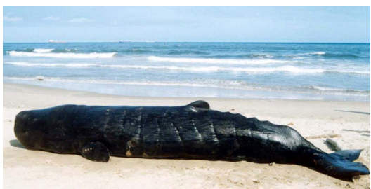 Sperm Whale, Physeter macrocephalus (stranded on Chennai coast, India). Courtesy Zoological Survey of India.