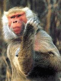 Ape Gestures Offer Clues To The Evolution Of Human Communication