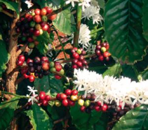 Genes Involved In Coffee Quality Identified