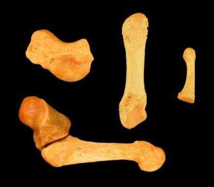 Vulpes Skinneri: Two Million-Year-Old Fox Species Found