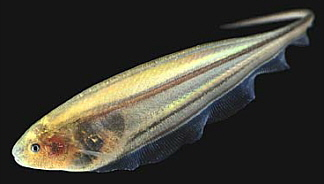 'Electric' Fish Shed Light On Ways The Brain  Directs Movement