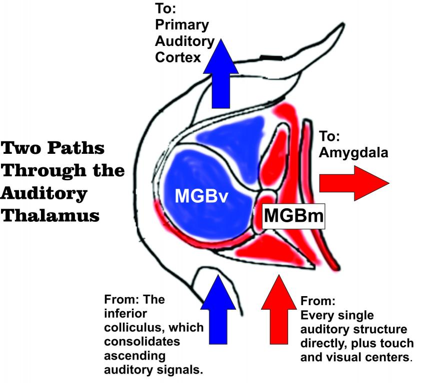 Model of pathways through the MGB